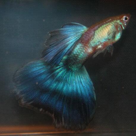 Poecilia reticulata « guppy » mâle cobalt show XL