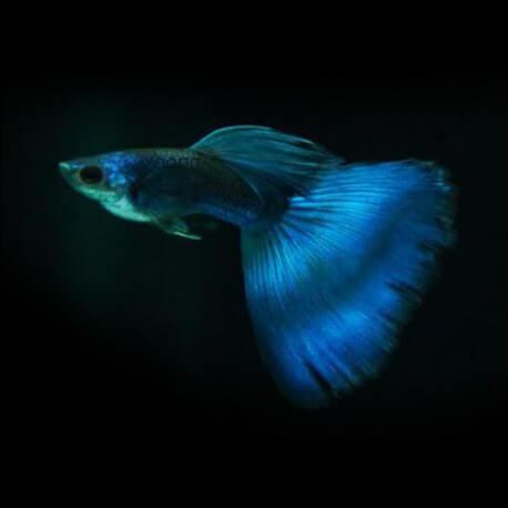 Poecilia reticulata « guppy » mâle elektric blue 3-4cm