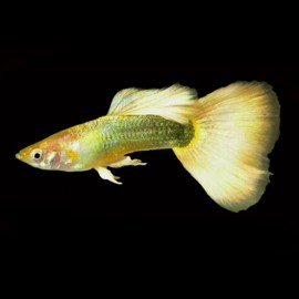 Poecilia ret. male german yellow 3,5 - 4 cm
