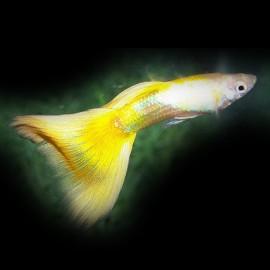Poecilia ret. male golden yellow 3 - 4 cm