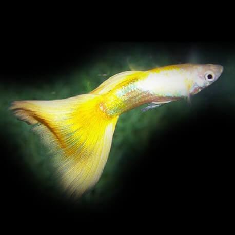 Poecilia ret. male golden yellow 3,5-4cm