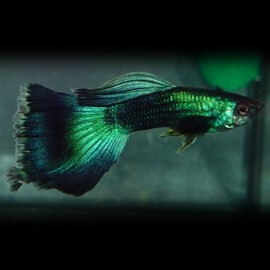 Poecilia ret. male green moscow 3 - 4 cm