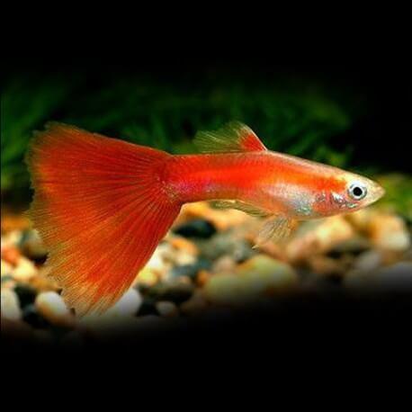 Poecilia ret. male half black red delta neon 3,5 - 4 cm