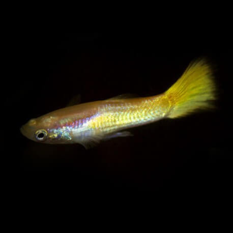 Poecilia reticulata « guppy » mâle lemon 3-4cm