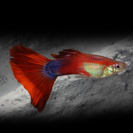 Poecilia ret. male rainbow red 2 - 3cm