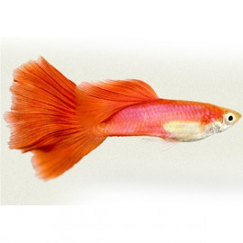 Poecilia ret. male red blond 3,5 - 4 cm