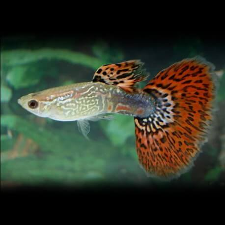 Poecilia reticulata « guppy » mâle red butterfly 3-4cm