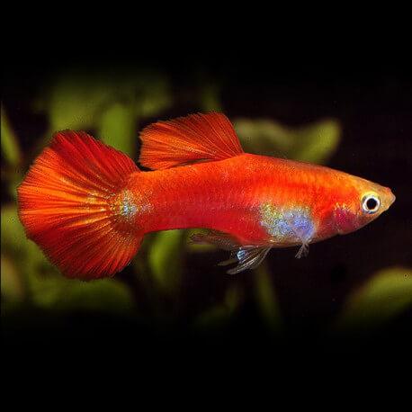 Poecilia ret. male red delta neon 3,0 - 3,5cm