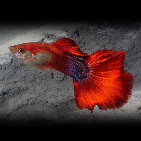 Poecilia ret. male red rainbow 3.5 - 4 cm