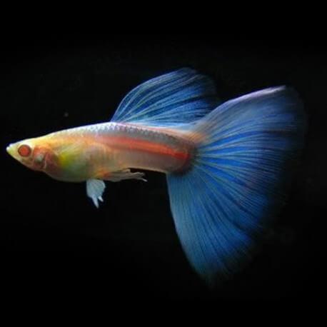 Poecilia ret. male sky blue red albino XL