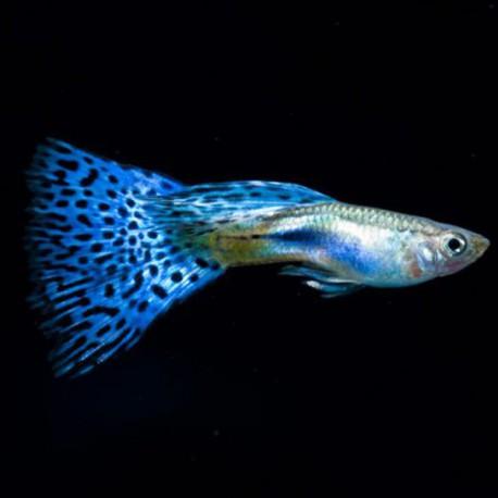 Poecilia reticulata « guppy » mâle snake skin blue delta 3-4cm