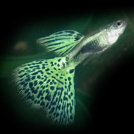 Poecilia ret. male snake skin green delta 3-4cm