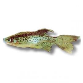 Brachydanio frankei long fin > 3,8 cm