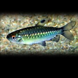 Arnoldichthys spilopterus 5-7 cm
