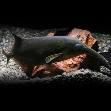 Campylomormyrus Numenius P/M
