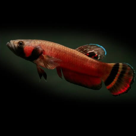 BETTA MACROSTOMA L