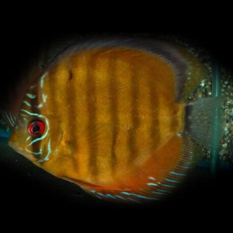 Discus Symphysodon aequifasciatus Nova Olinda Bleu L