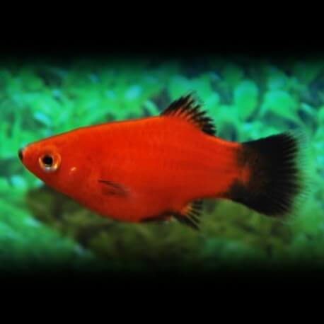 PLATY WAGTAIL ROUGE CORAIL M
