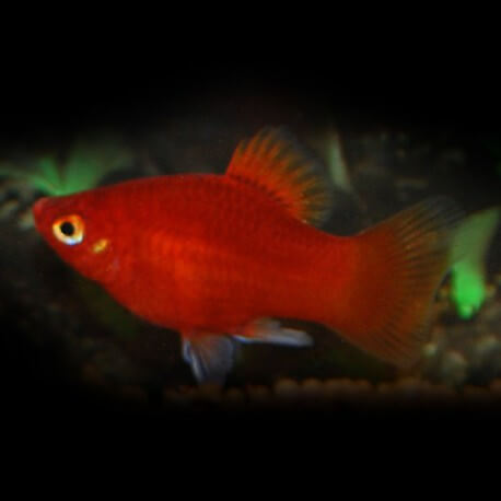 PLATY CORAIL ROUGE M