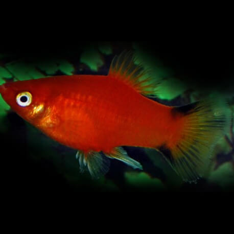 PLATY VICTORY ROUGE M