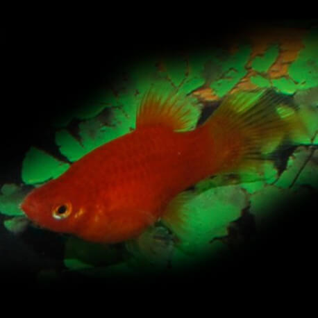 PLATY CORAIL PINCEAU ROUGE M