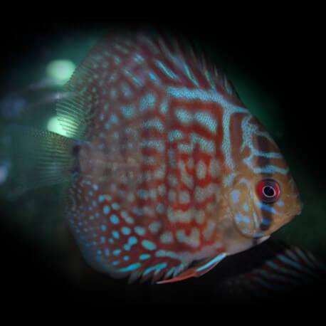 Discus Symphysodon aequifasciatus Turquoise Rouge M