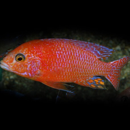 AULONOCARA FIRE FISH RED L