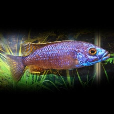 Haplochromis AHLI XL