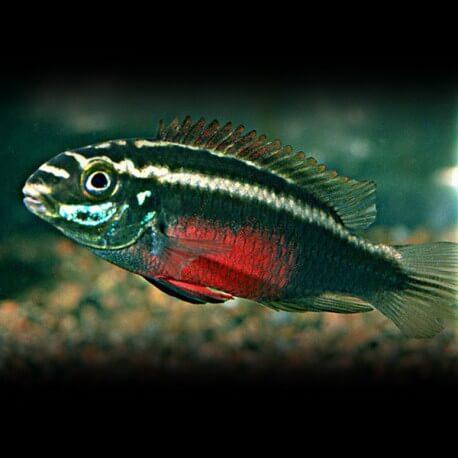 Pelvicachromis SACRIMONTIS L