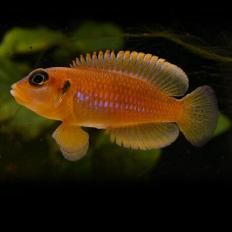Lamprologus ocellatus orange M