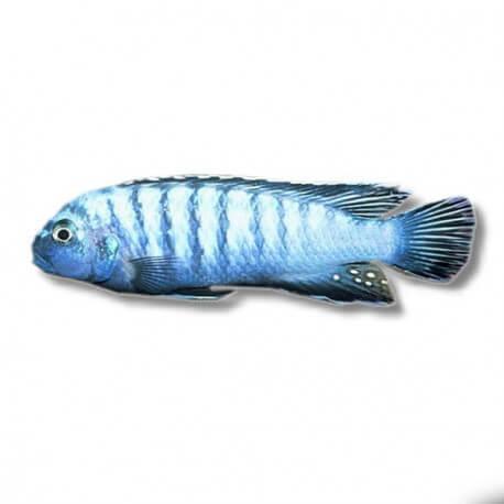 Pseudotropheus elongatus cobalt 5-7cm
