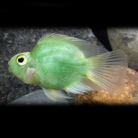 Hybrid green parrot 5-6cm