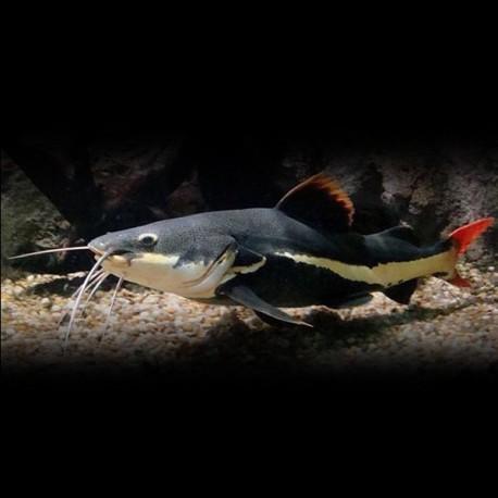 Phractocephalus hemiliopterus 8-10cm