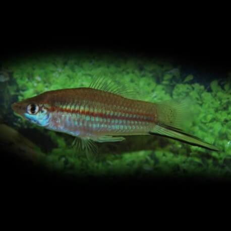 Xiphophorus helleri VERT M