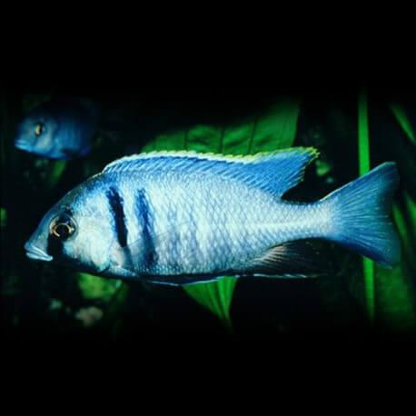 Haplochromis ELECTRA P