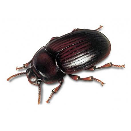 Alphitobius diaperinus 1L