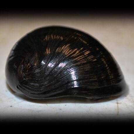 Escargot NERIPTERON SP BLACK