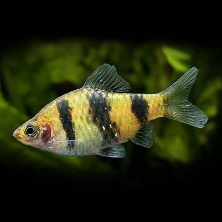 Barbus fasciatus 3,5-4cm