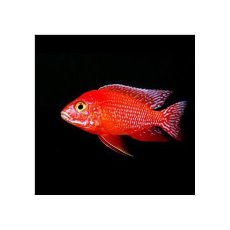 ANNEN supplément Firefish