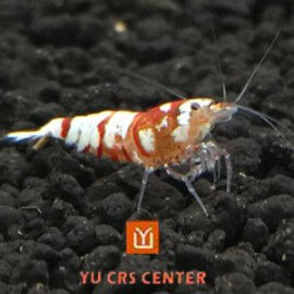 Crevette Red Fancy Tiger