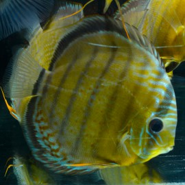 Discus Yellow Colombie Sauvage XL-XXL