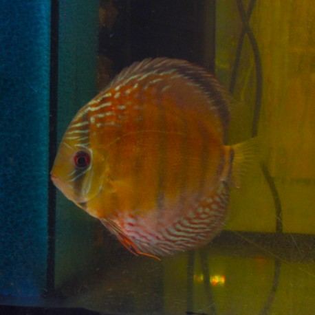 Discus green red spotted