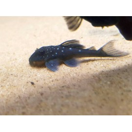 hemiancistrus l128 blue diamond