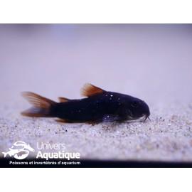 Corydoras sp. black venezuela 2,5-3 cm