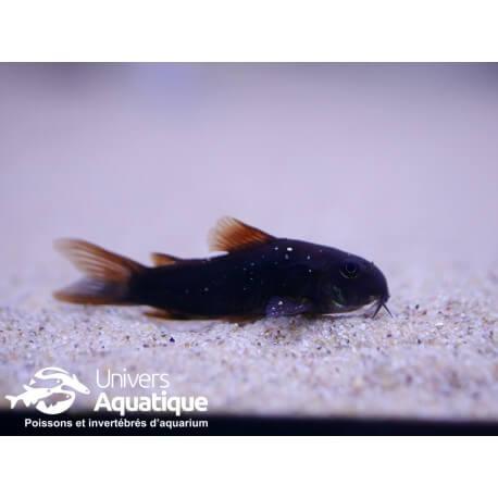 Corydoras sp. black venezuela M