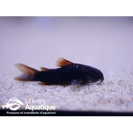 Corydoras sp. black venezuela XL