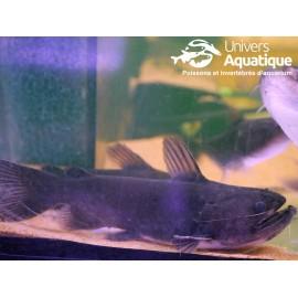Asterophysus batrachus  - Colombie