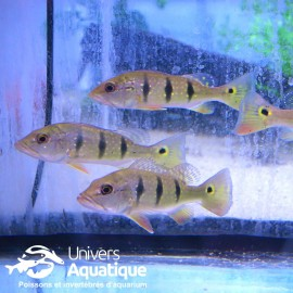 Cichla Temensis - Colombie