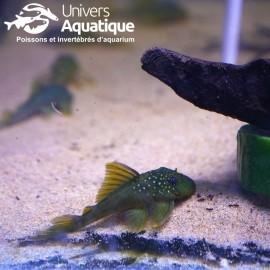 Baryancistrus demantoides - L200 - Colombie