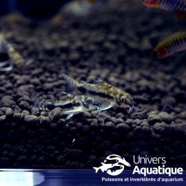 Corydoras habrosus - Colombie